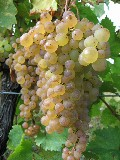 Muscadelle Grapes