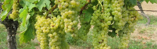 Ugni Blanc grapes