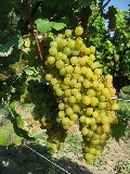 Folle Blanc Grapes
