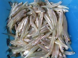 whitebait/tiny sprats