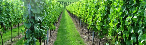 France Wine Tour Holiday - Alsace Vineyard.