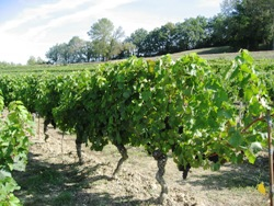 France Wine Tours Duras Vineyards